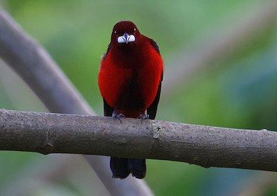 A male Crimson-backed Tanager (Ramphocelus dimitiatus) / Photo credit: Santiago Carrizosa