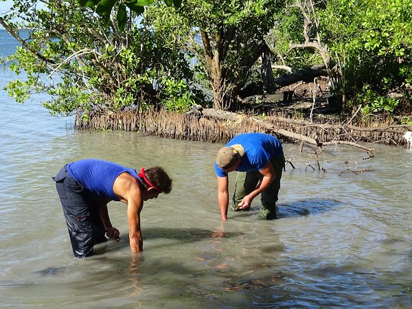 El apoyo al proyecto incluye la plantación de especies de mangle a lo largo de una franja de 84 km de la costa que abarca las dos provincias. / Crédito de la foto: Proyecto Manglar Vivo, PNUD Cuba