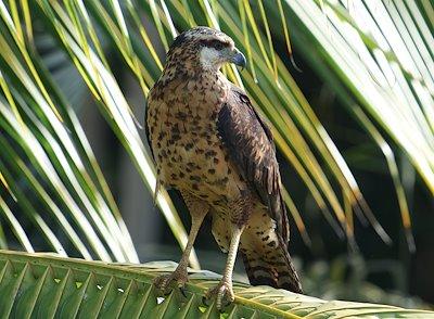 Great Black Hawk (Buteogallus urubitinga) / Photo credit: Santiago Carrizosa