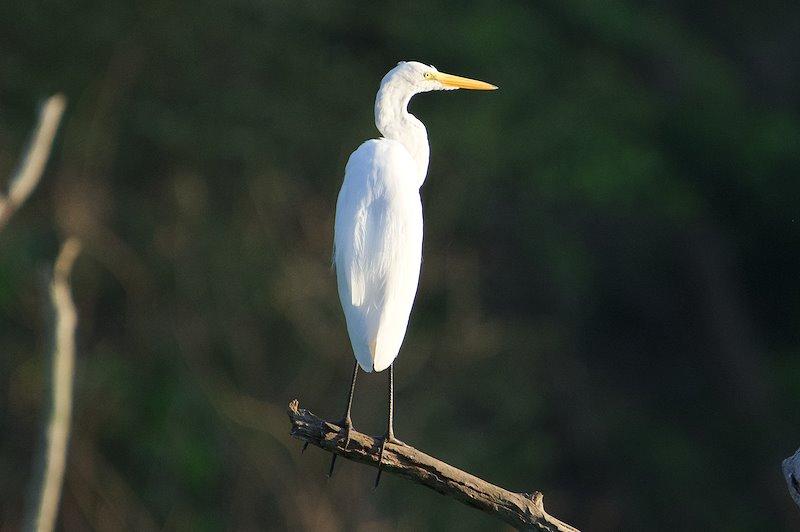 Great Egret (Ardea alba) / Photo credit: Santiago Carrizosa