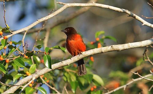 A female Crimson-backed Tanager (Ramphocelus dimitiatus) / Photo credit: Santiago Carrizosa